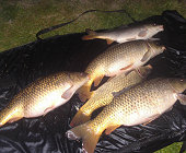 Common carps - 6.6 to 13.3 Lbs